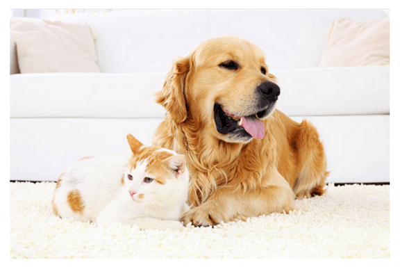 Pet Odor Removal Chem Dry By The Millers